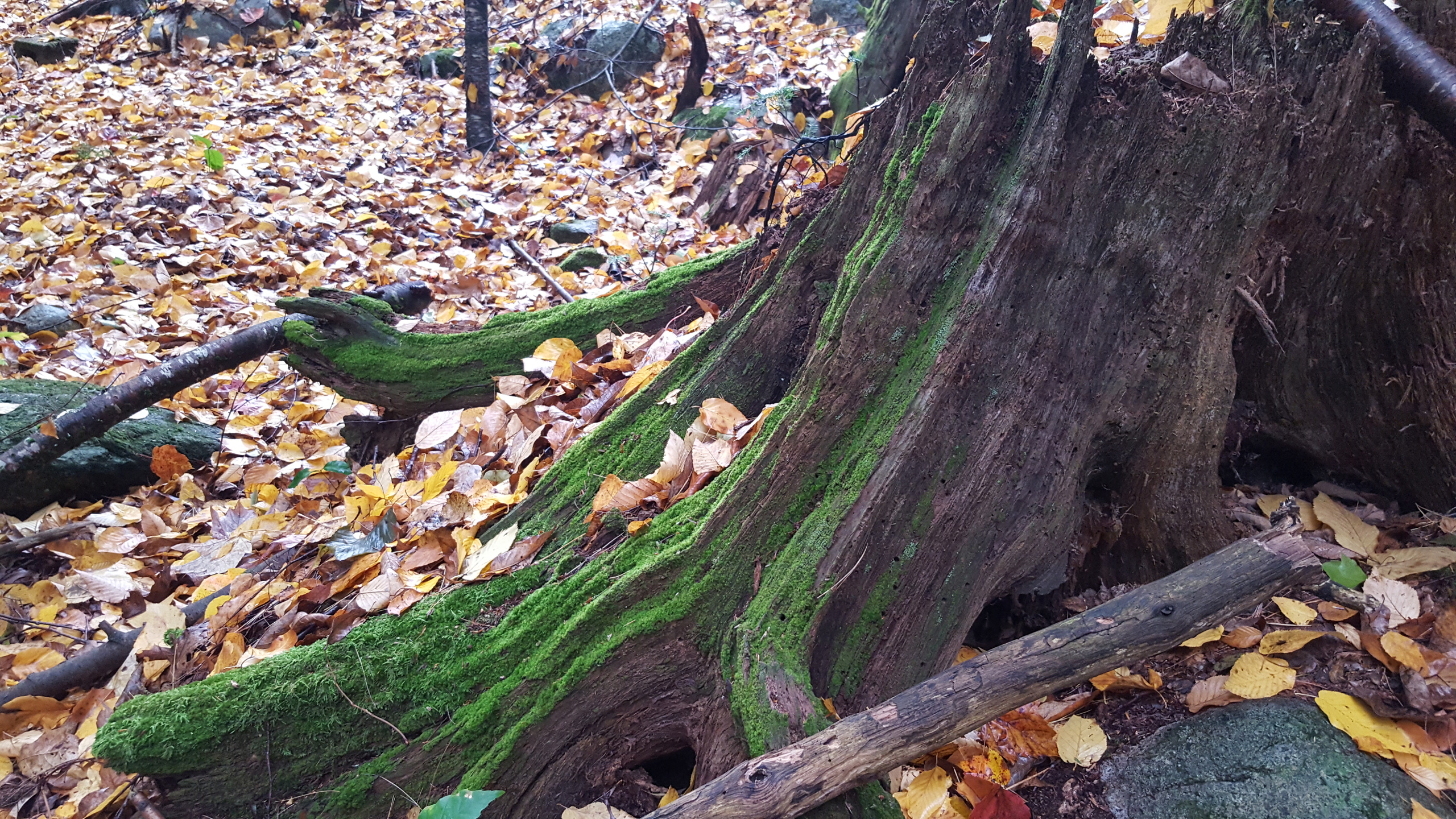 A tree stump with moss, surrounded by fall leaves.